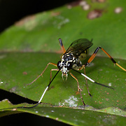 Ichneumonidae sp. wasp. Ichneumons are also sometimes referred to as scorpion wasps. They are a parasitic wasp.