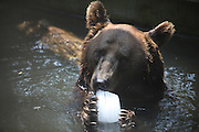 WUHAN, CHINA - AUGUST 06: (CHINA OUT) <br /> <br /> To Keep Cool For Animals During Heat Wave<br /> <br /> A bear enjoys a block of ice to beat the heat at Qingdao zoo on August 5, 2013 in Qingdao, Shandong Province of China.<br /> ©exclusivepix