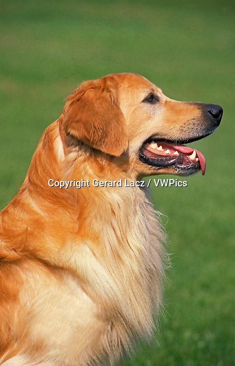 Hovawart Dog, Portrait of Adult