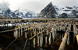 NORWAY LOFOTEN 29MAR07 - Stockfish racks in Hamnoy on the Lofoten islands.<br /> <br /> North-East Arctic Cod have played an important role on the islands for thousands of years. At home north of the Arctic Circle, the fish come from the Barents Sea to Lofoten in early January to spawn by the tens of millons. January also marks the beginning of the fishing season, which lasts until the end of March, during which some 25000 guest fishermen join forces with about 3000 who live on the islands permanently - together they catch about 35000 tons of cod.<br /> <br /> The drying of food is the world's oldest known preservation method, and dried fish has a storage life of several years. Beside oil and gas, sun-dried stockfish is Norway's longest sustained and historically most profitable export commodity, as it is extremely popular and widely consumed in Catholic Mediterranean countries, notably Portugal, Spain and Italy. It also remains part of the national cuisines of the Caribbean, having arrived there with the so-called triangular trade during colonial times.<br />
