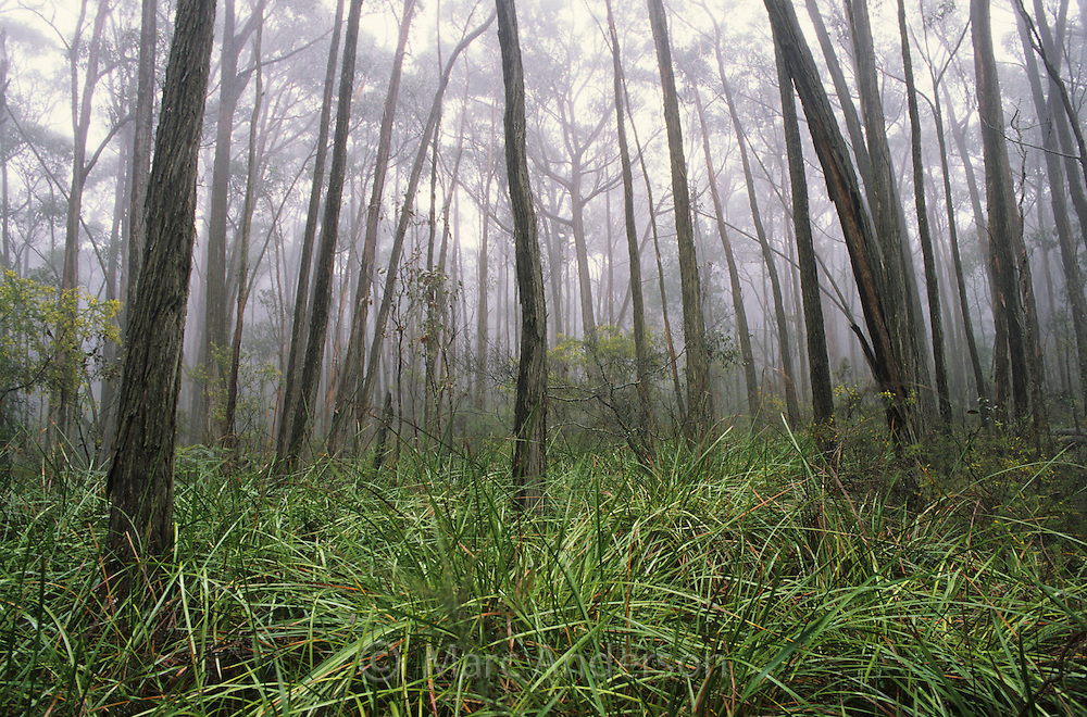 A misty eucalyptus forest, Grampians National Park, Australia.