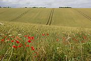 Wild poppies growing on the edge of Kentish agricultural farmland, on 7th July 2019, near Doddington, Kent England