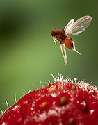 A female spotted wing fruit fly over a strawberry. An introduced pest species in North America, the spotted wing fruit fly (Drosophila suzukii) feeds and breeds on fresh berries such as rasberries, strawberries and cherries – unlike most fruit flies that infest decaying and rotting fruit. Drosophila suzukii is a substantial pest for berry and fruit farmers. © Michael Durham / www.DurmPhoto.com