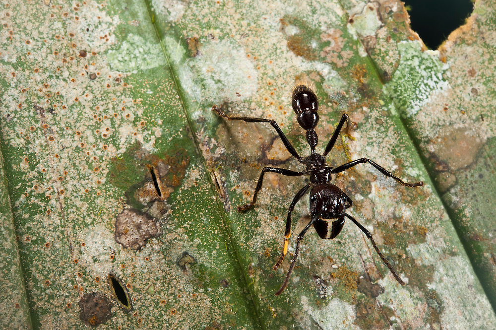 Conga Ant (Paraponera clavata)<br /> Yasuni National Park, Amazon Rainforest<br /> ECUADOR. South America<br /> HABITAT & RANGE: Inhabits humid lowland rainforests from Nicaragua south to Paraguay.