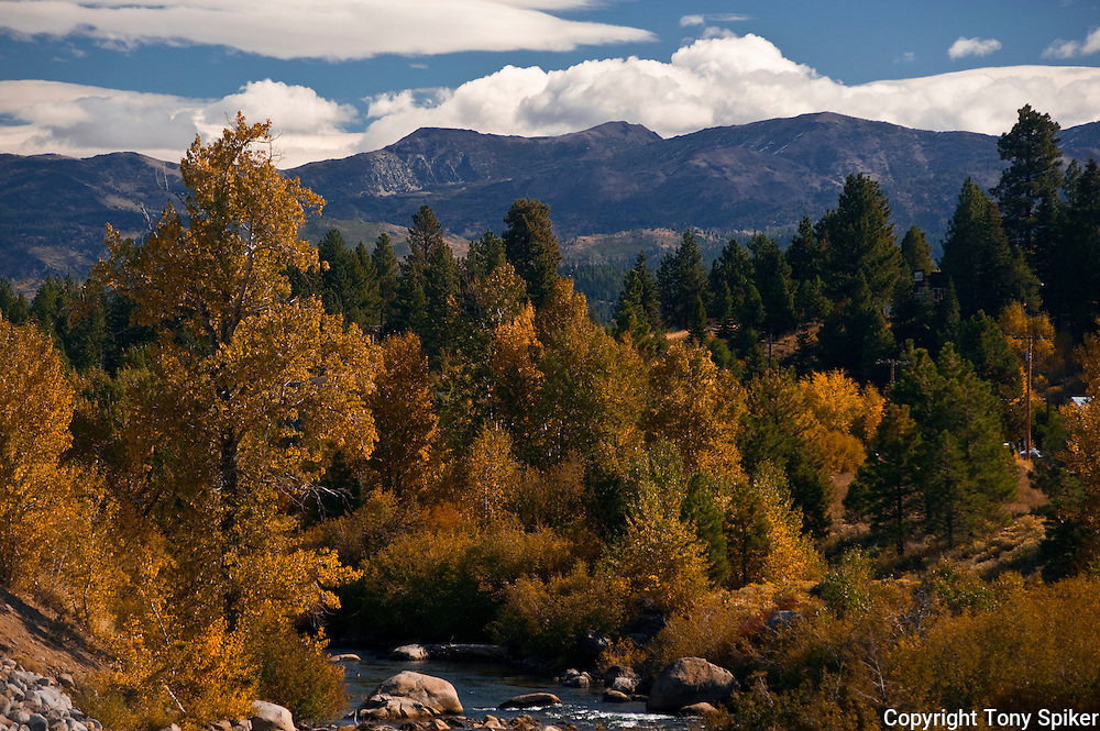 """""""Fall Along the Truckee River 2"""" - A photograph of fall Aspen trees near their peak along the Truckee River."""