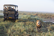 African lion next to truck of tourists on safari, Duba Plains, Botswana