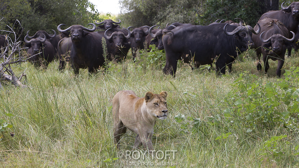 African lion stalking herd of cape buffalo, Duba Plains, Botswana