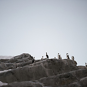 A group of Antarctic shags stand on smooth grey rocks on the coastline of the Antarctic Peninsula.