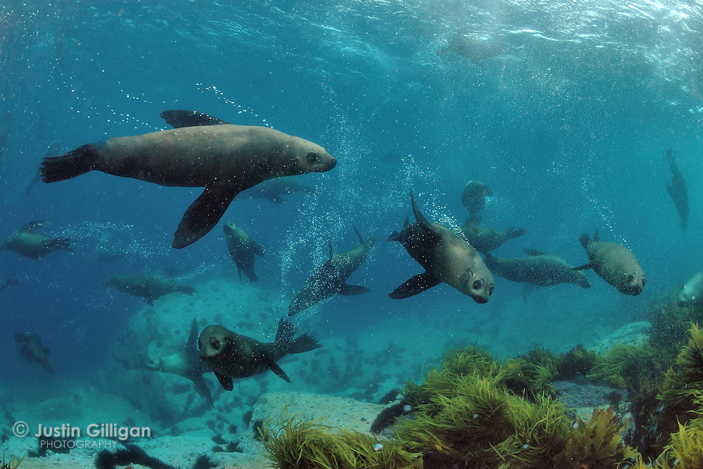 Australian (Arctocephalus pusillus) and New Zealand (Arctocephalus forsteri) fur seals, photographed off southern Australia, Pacific Ocean, Indian Ocean, Southern Ocean.