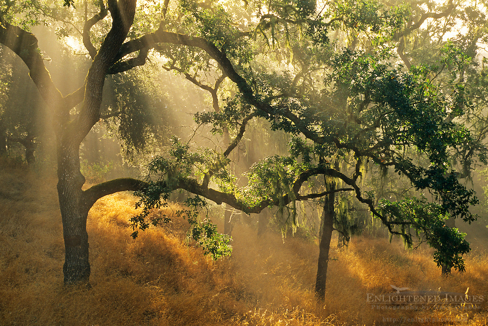 Oak trees and sunbeams, above Carmel Valley, Monterey County, California