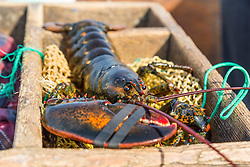 A recently caught lobster on a bait bag at the Friendship Lobster Co-op in Friendship, Maine.