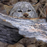 Canada Lynx, (Lynx canadensis) Adult staLakeing behind fallen log. Rocky mountains. Montana.  Captive Animal.