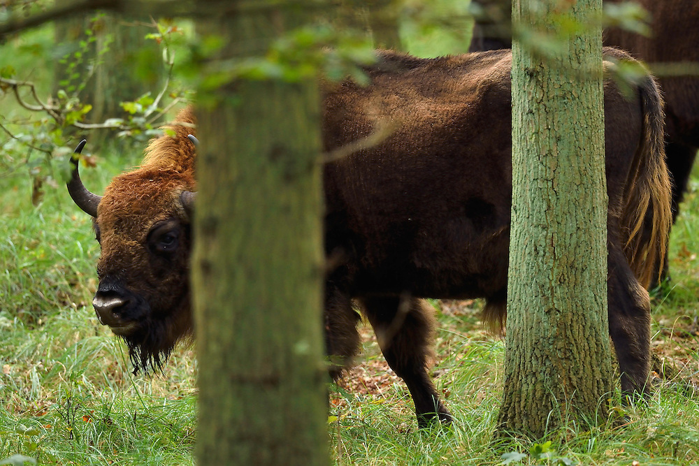 European bison or Wisent, Bison bonasus, herd  at Kraansvlak, Kennemerduinen, in the Zuid Kennemerland National Park, Netherlands. Images taken in a huge enclosure, where the bison live a completely wild life.