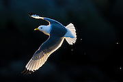 Måke med gylne vinger | Seagul with golden wings