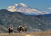 Hiking the trails at Mount St. Helens offers views of other Cascade volcanos including Mt. Rainier.<br /> <br /> Mike Siegel / The Seattle Times