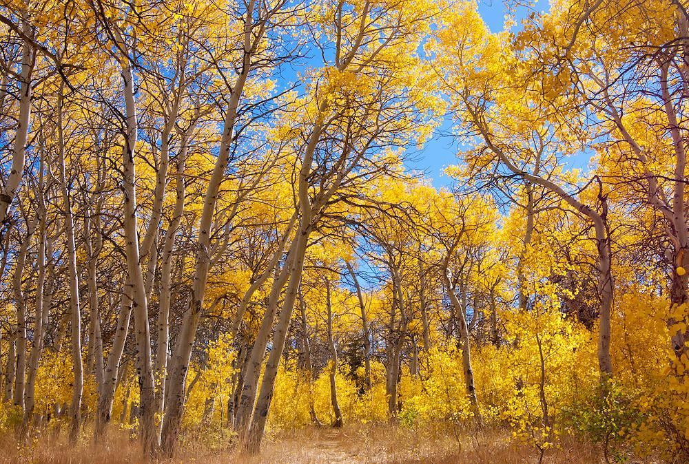 Aspen trees in Autumn; Toiyabe National Forest, Eastern Sierra Nevada Mountains, California.