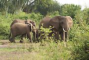 Elephants at Uganda Queen Elizabeth National Park