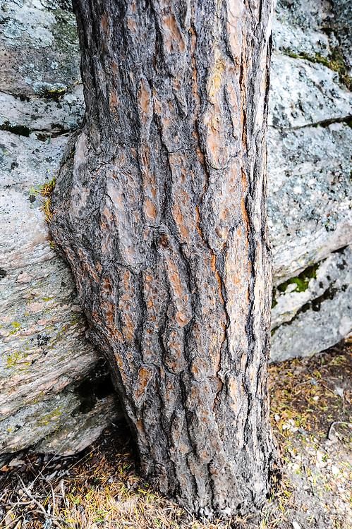 Norway, Sør-Trøndelag. Old pine at Magalaupet gorge in the river Driva in Oppdal.