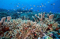 Chromis and Healthy Hard Corals<br /> <br /> Shot in Indonesia