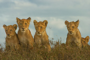 Lion cubs, part of a pride, Serengeti National Park, Tanzania.