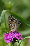 American Lady Butterfly, Beech Hill Farm, Mount Desert Island, Maine
