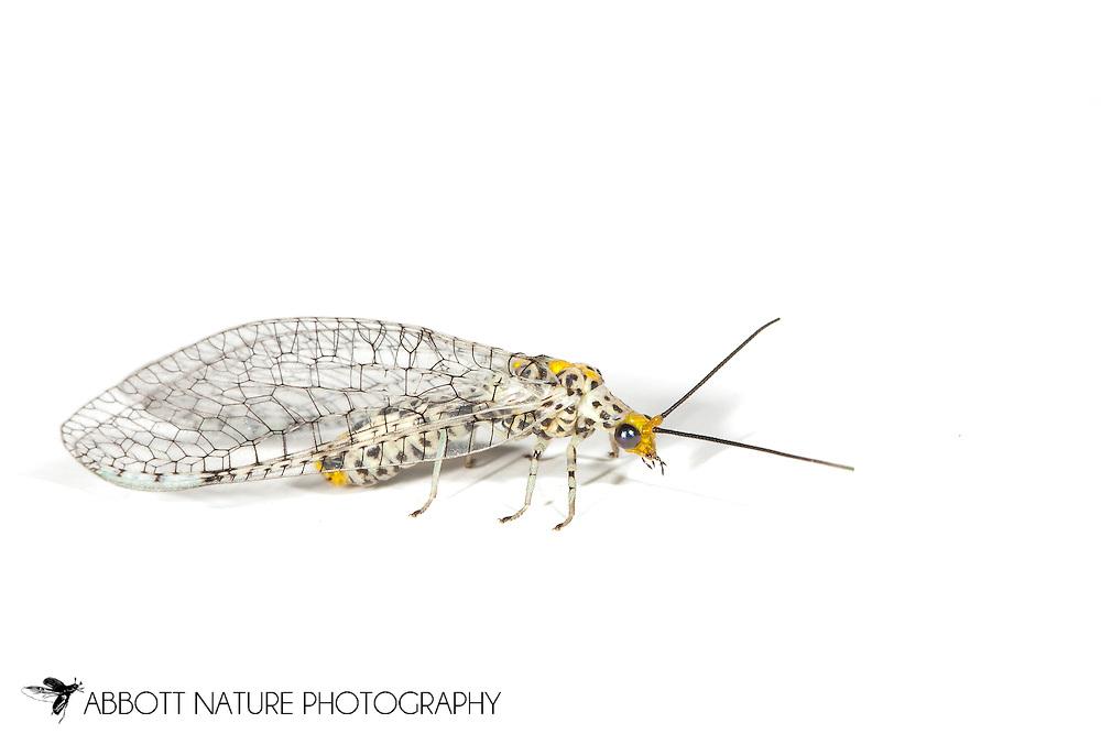 Green Lacewing (Abachrysa eureka)<br /> TEXAS: Harrison Co.<br /> Caddo Lake NWR @ Karmack <br /> 29.May.2011<br /> J.C. Abbott #2508