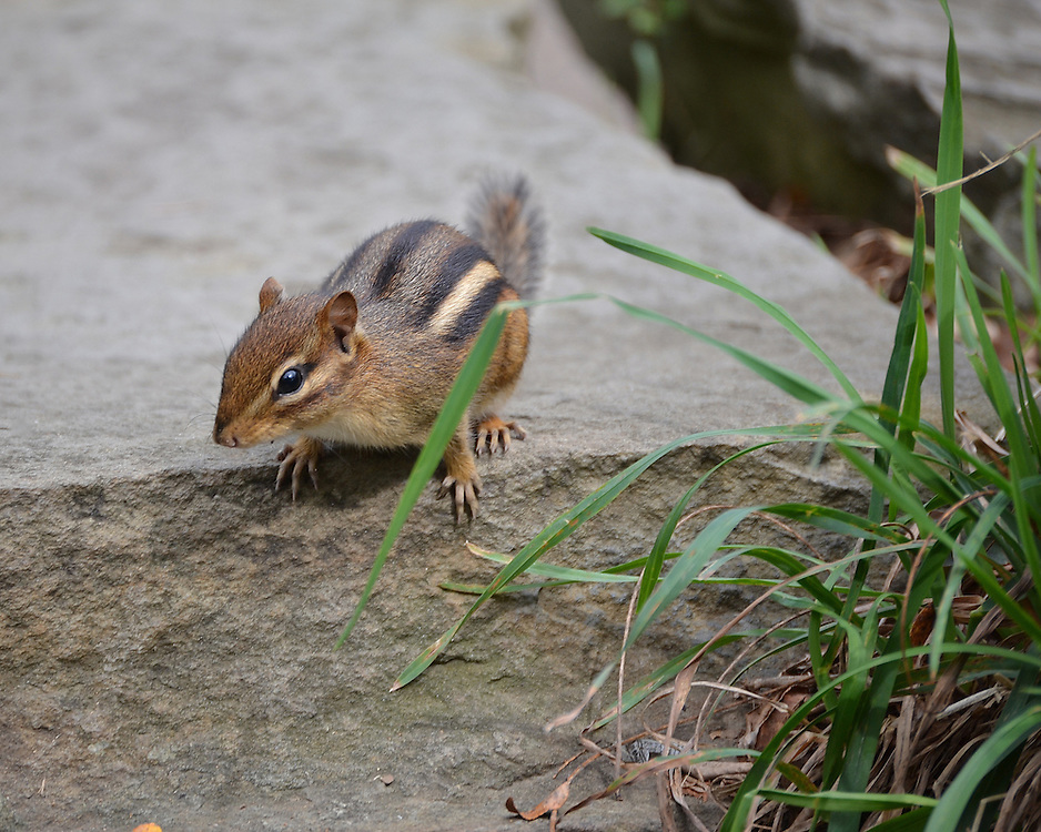 Chipmunk at the Pittsburgh Zoo