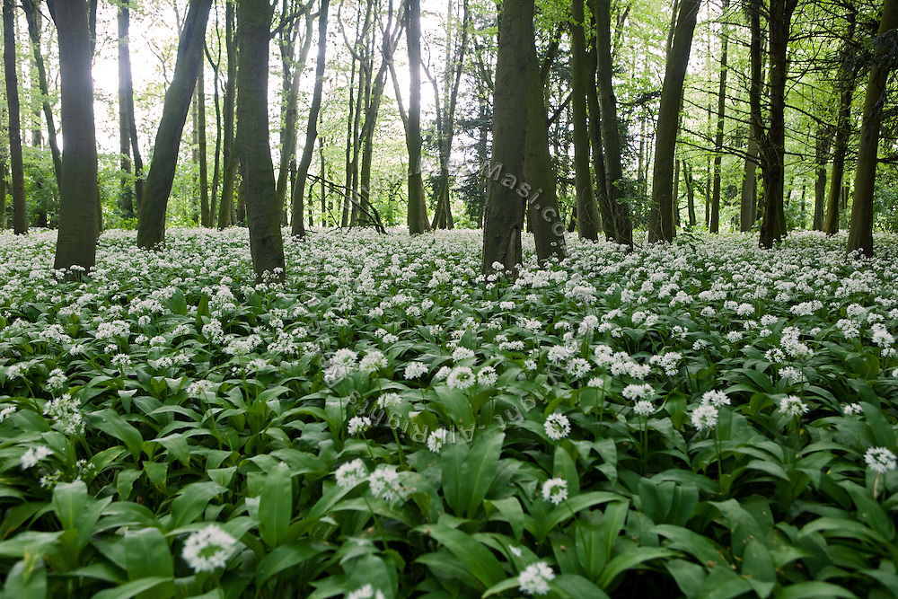 White flowers are growing in the woods near Pocklington's Buddhist Centre, Yorkshire, England, United Kingdom.