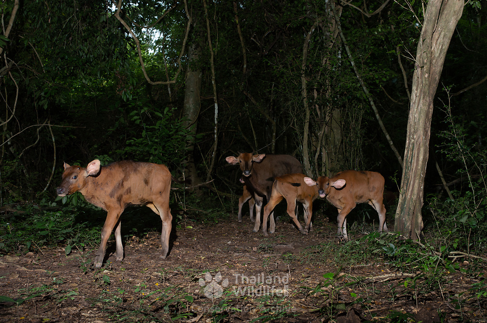 The gaur (Bos gaurus),  is the largest extant bovine, native to Southeast Asia. It has been listed as Vulnerable on the IUCN Red List since 1986. This group of young gaur calves are testament to the the habitat improvement and protection programmes of the Kaeng Kracahn National Park.