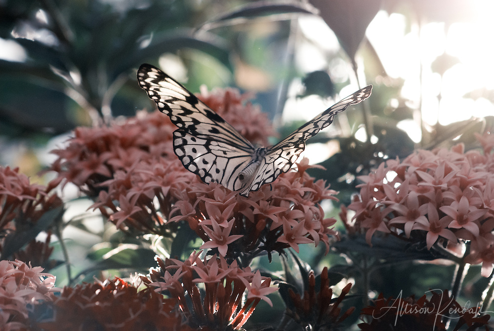 A beautiful butterfly rests on coral pink flowers, as sunlight filters through the green of jungle plants.