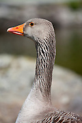Greylag goose, Anser anser, by Tarn Hows in the Lake District National Park, Cumbria, UK