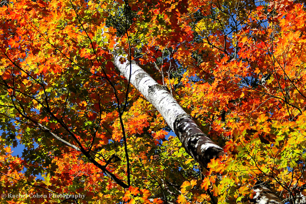 &quot;Surrounded&quot;<br /> <br /> A pure brilliant and inviting autumn image! A sunlit Birch tree trunk surrounded by vibrant and colorful Maple leaves set against a deep blue sky!!<br /> <br /> Fall foliage by Rachel Cohen