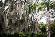 Spanish moss hangs from a tree in swampland Louisiana bayou, USA