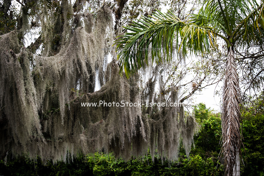 Spanish moss hangs from a tree in swampland Louisiana bayou, USA