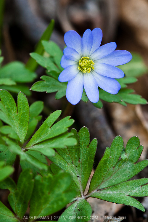 The light blue, early spring flower of the Wood Anemone (Anemone nemorosa 'Robinsoniana')