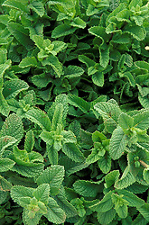 Africa, Morocco<br /> Mint leaves, used to brew traditional tea