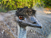 Emu head, at Emu Park Holiday Park, in the beautiful Wartook Valley, in the Northern Grampians region, Victoria, Australia.