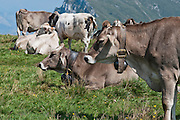 Cow grazing on field at the top of Monte Baldo above Lake Garda, Italy
