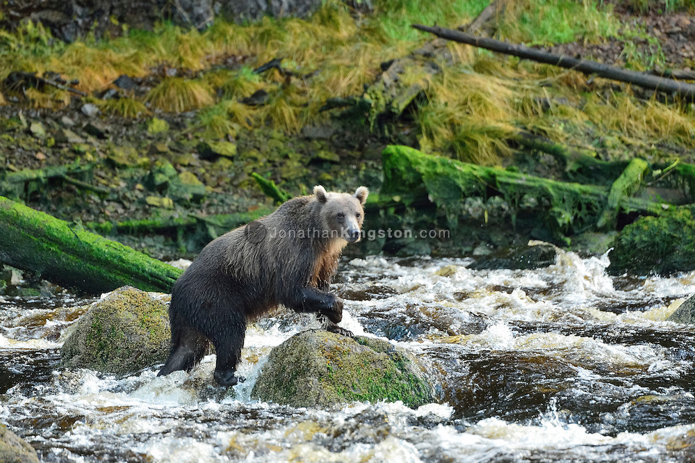 A grizzly bear walks in the Pavlov river while fishing for salmon near Fresh Water Bay on Chichagof Island, Alaska.