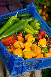 Basket of chillies
