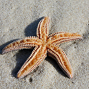 Northern Sea Star, Asterias vulgaris, stranded upside down,on the beach, Lavalette, New Jersey