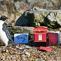 London Feb 12 Roxy one of the most popular penguins at The  London Zoo awaits her Valentine cards to be delivered...***Standard Licence  Fee's Apply To All Image Use***.Marco Secchi /Xianpix. tel +44 (0) 845 050 6211. e-mail ms@msecchi.com or sales@xianpix.com.www.marcosecchi.com