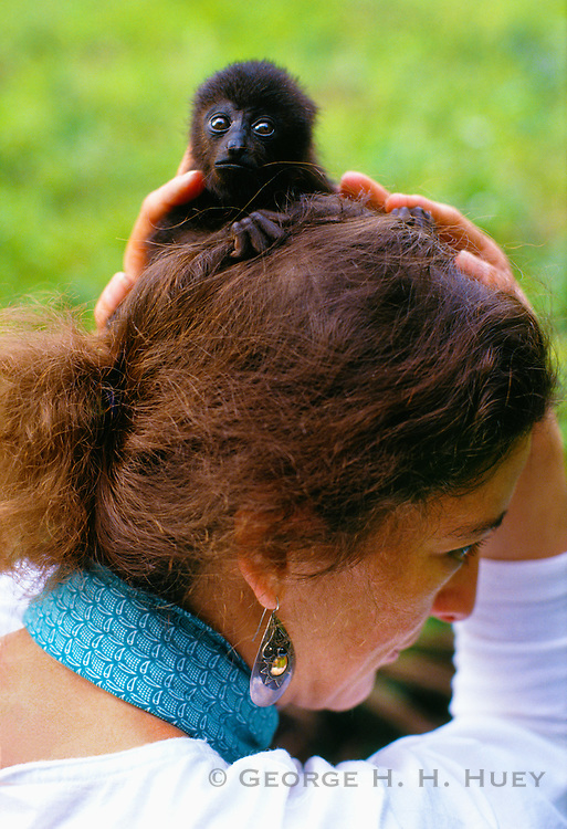 356201-1006C ~ Copyright:  George H. H. Huey ~ Three month old black howler monkey (alouatta pigra) clings to the head of a tourist at the  Community Baboon Sanctuary, Belize.