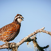 Bobwhite quail calling out for a mate in South Texas during the spring mating season.