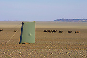 GOBI DESERT, MONGOLIA..08/29/2001.Tzochorinam, gers belonging to the family of wealthy camel herder and local hero Chimiddorj. Camels passing portable toilet of Nomad Tours' tent camp..(Photo by Heimo Aga).