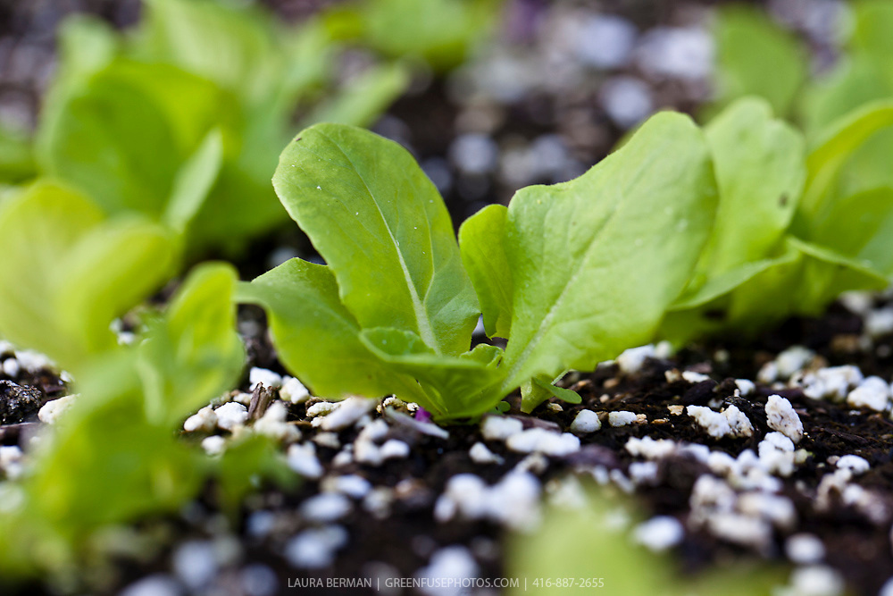 Container lettuce seedlings
