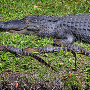 An alligator is seen basking in the sun with it's babies along the edge of a small pond in the Greenwood Garden Villas area in Sea Pines on Hilton Head Island on April 21, 2014.