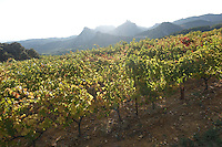 Sun shines brightly on the green leaves of a vineyard in rural Provence, France. Backlit mountains are seen in the background.