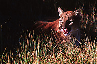 Mountain lion (Felis concolor) Lives in all forested ecosystems, but prefers rocky canyons and foothills.