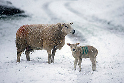 © Licensed to London News Pictures. 03/04/2019. Ingleton UK. Sheep in a snow covered field near the village of Ingleton in the Yorkshire Dales today. Photo credit: Andrew McCaren/LNP